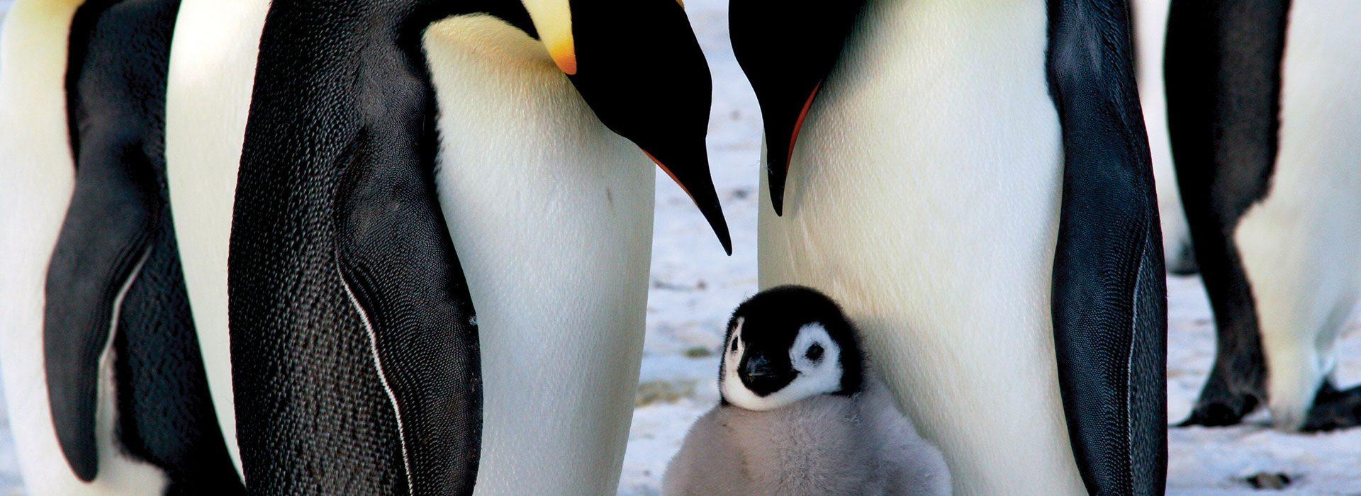PenguinsFull